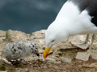 Black-backed Gull feeding chick