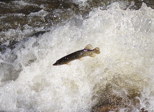 Northern Pike Aspires to be a Salmon
