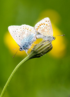 Mating Common Blue