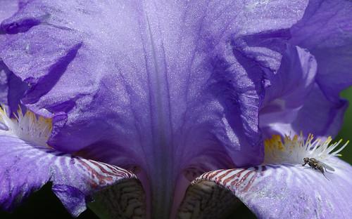 iris flower macro closeup 1001nights lightroom 1001nightsmagiccity