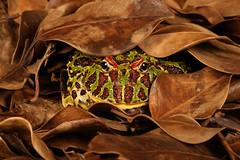 Ceratophrys ornata - Argentine Horned Frog