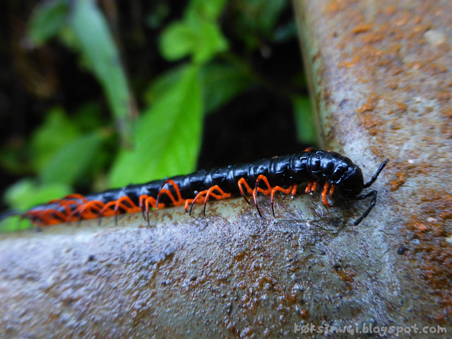 Penrissen Trek Orange Legs Millipede