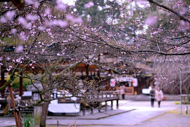 Japan Kyoto . 日本.京都 Hirano Shrine 平野神社櫻花綻放時   DSC_6171