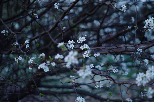 Blossom by Flickr User: Usman Khan