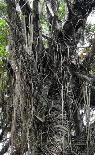 Banyan (Ficus) in Hanoi