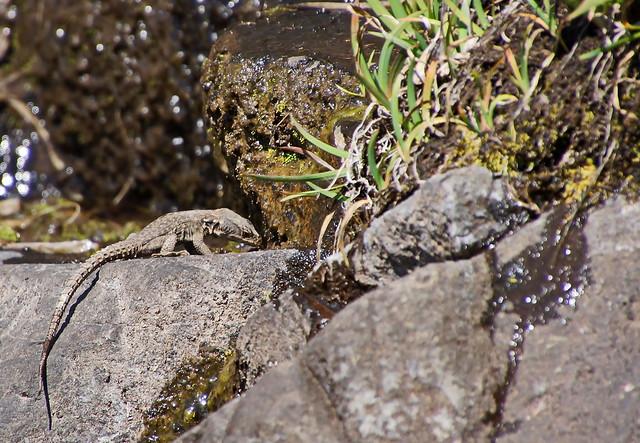 Südliche Felseneidechse - Southern Rock Lizard