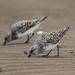 Syncronised Sanderling by queeny63
