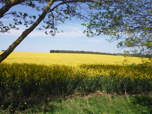 Oilseed Rape Field, and wood, from Caldecote Road