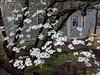 Dogwood in bloom #twitter