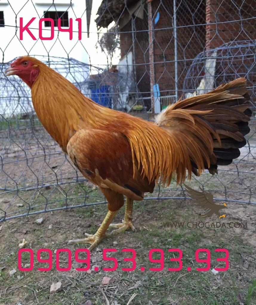 K041 - Gà Khét Vàng