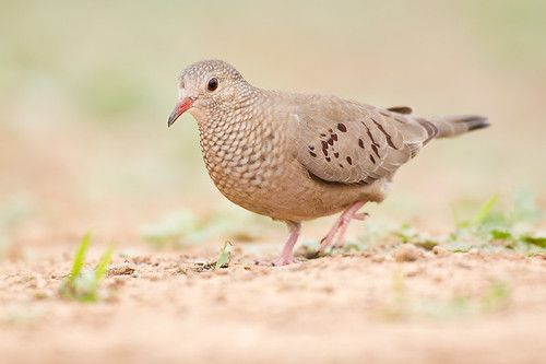 Common Ground Dove by Jeff Dyck