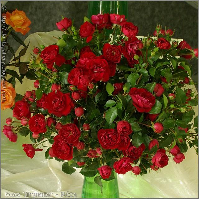 Rosa 'Imperial' - Róża