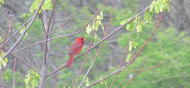 ohio cardinal