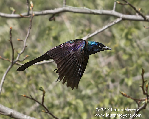 Common Grackle in Flight by Laura-Meyers