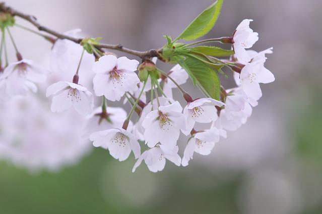 Sakura Closeup - Tele