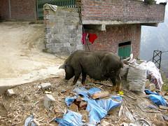 Sapa Pig