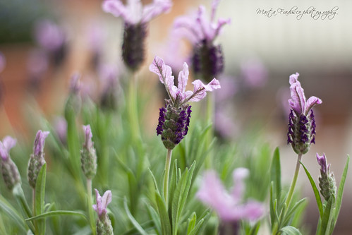 do you like lavender? i love it