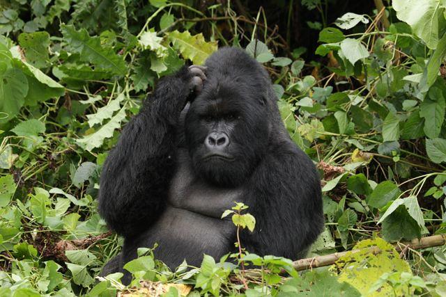 Bjerggorilla i Uganda
