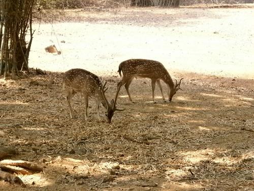 Deer-Vandalur-Zoo-Chennai