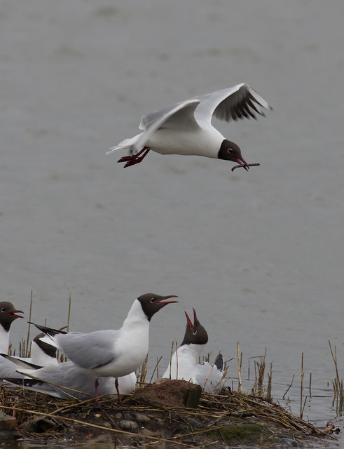 Black headed gulls 2