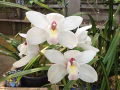 cattleya labiata(0.0), laelia(0.0), cattleya trianae(0.0), flower(1.0), plant(1.0), orchid family(1.0), flora(1.0),