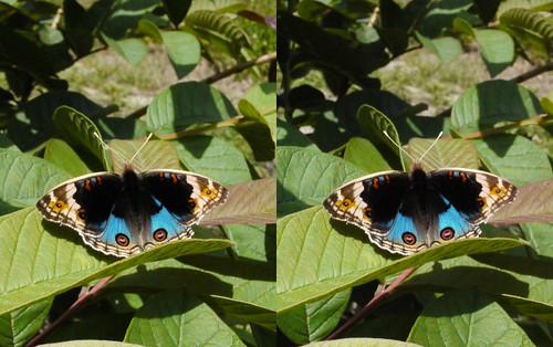 Junonia orithya, stereo parallel view