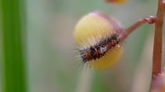 hairy caterpillar on Lomandra filiformis