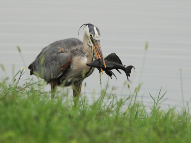 Great Blue Heron with Plecostomas sp 20120606