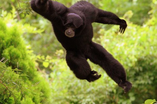 A Siamang Flies through the Air