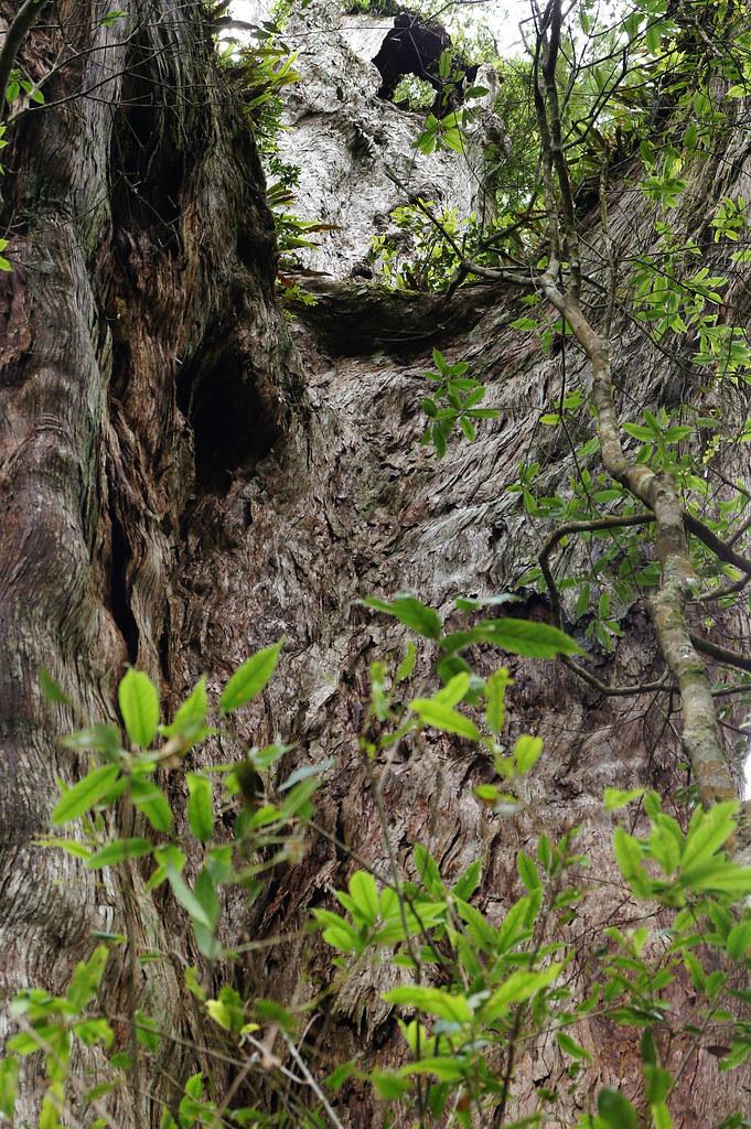 巨木群,與往拉拉山的路上-062