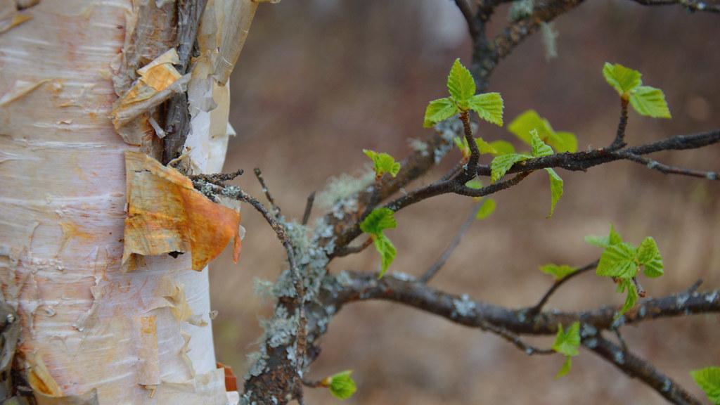 Birch leaves opening