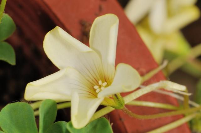 葉狀酢漿草的花朵