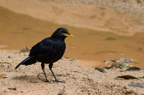 Blue Whistling-Thrush