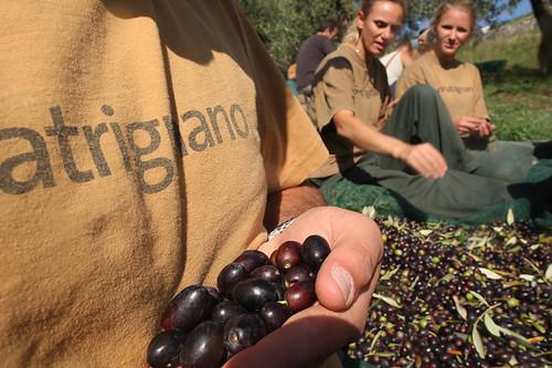 San Patrignano: la raccolta delle olive