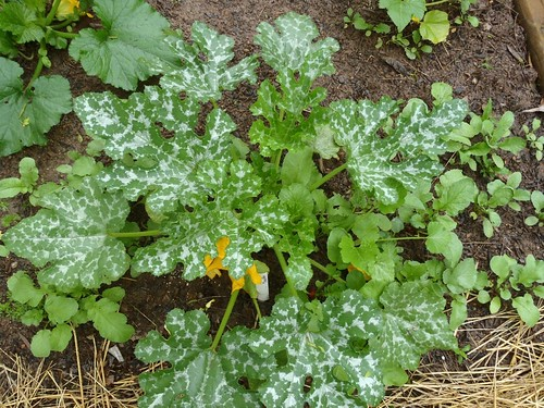 A Tutorial For Growing Squash From Seed. Learn how to grow this garden staple! | www.TheAdventureBite.com