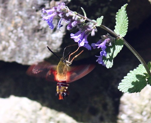 2012_0518FHawkMoth0003 by maineman152 (Lou)