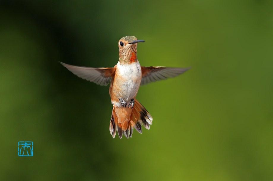 Allen's Hummingbird 051812-6