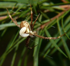 Wasp grub eating an Argiope sp spider