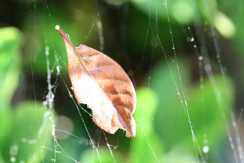 Brown Leaf in a Spiderweb