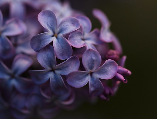 Close up on the Lilac flowers by Sanunas