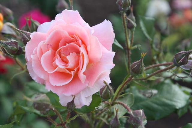 rosa almendra