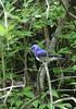 Blue and White Flycatcher by blueeyes_inoki