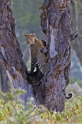 park lake kenya national leopard nakuru femaleleopard goldwildlife naturesgreenpeace mothernaturesgreenearth amazingwildlifephotography allofnatureswildlifelevel1 macswildpixels