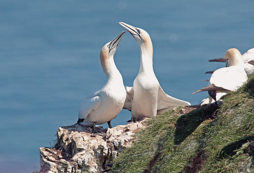 Gannet's at Bempton Head by Andy Pritchard - Barrowford