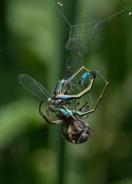 Nuctenea cornuta spider eating blue tailed damselfly pair 4