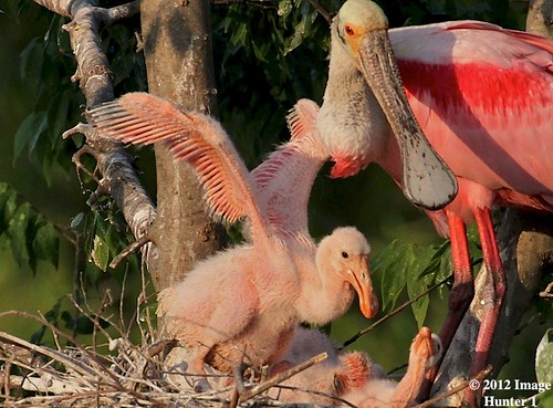 Future Wings, Roseate Spoonbill Nest