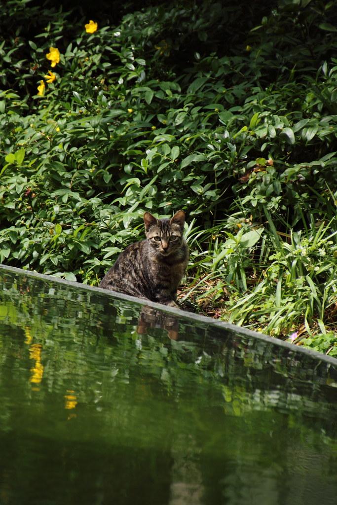 水面に映る猫 1