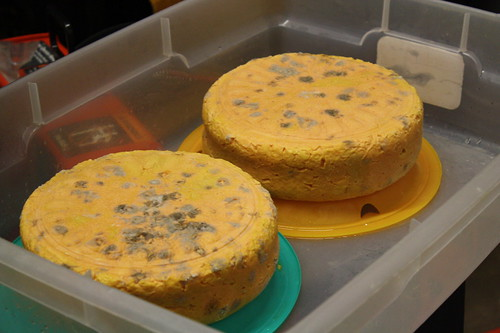 blue cheese being aged