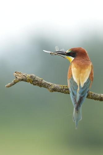 無料写真素材, 動物 , 鳥類, ヨーロッパハチクイ