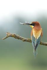 [フリー画像素材] 動物 2, 鳥類, ヨーロッパハチクイ ID:201206070400